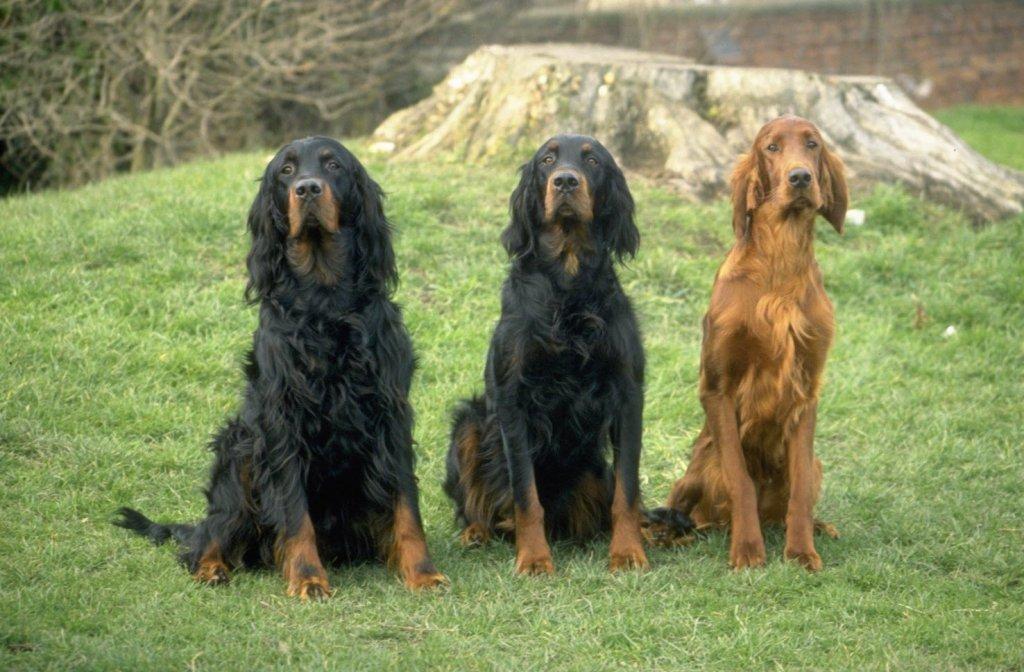 Ireland's Top Dog?